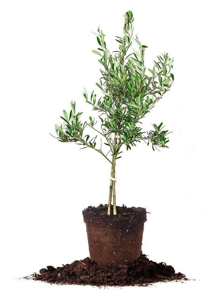 Our Beautiful Olive Tree Gift